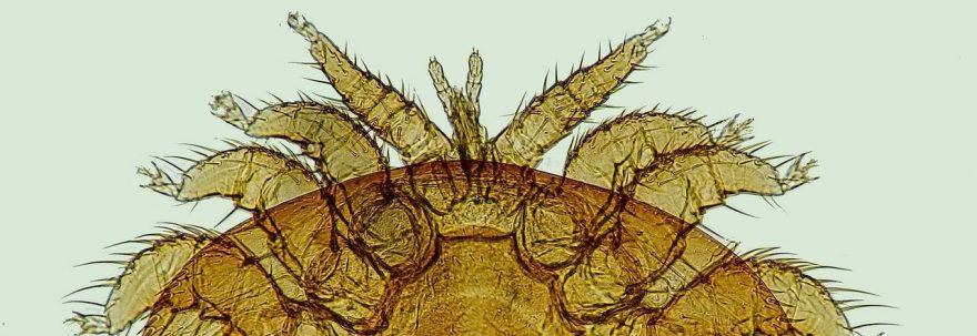 Tout savoir sur le varroa