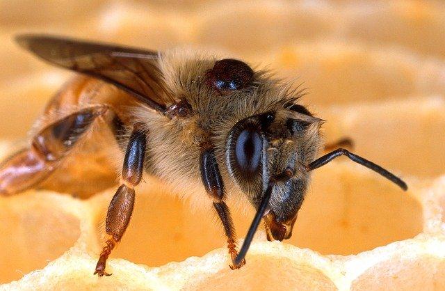 varroa phorétique sur abeille adulte