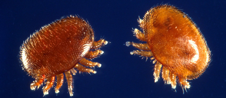 Varroas adultes (Source photographie : U.S. Department of Agriculture, licence CC BY 2.0, Flick)